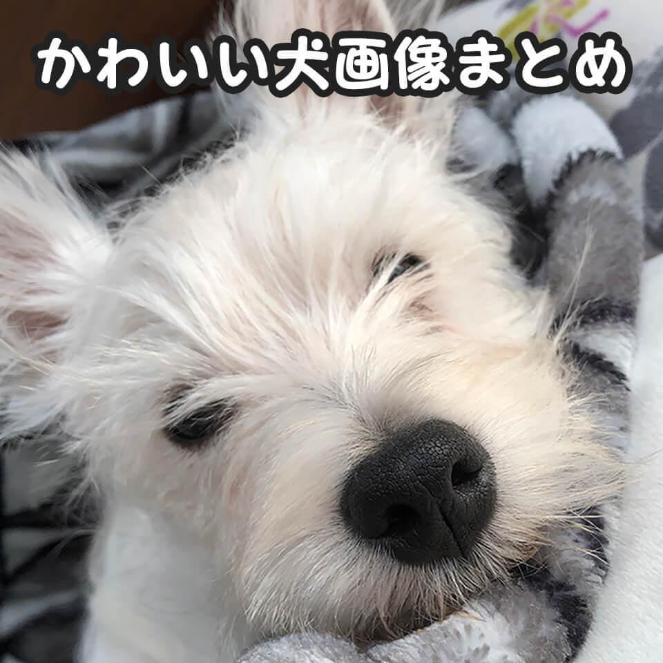 ウエスティというかわいい犬の画像まとめはこちら