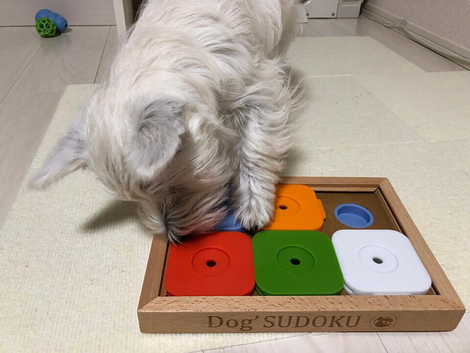 スライドパズルでノーズワークをするウエスティの子犬