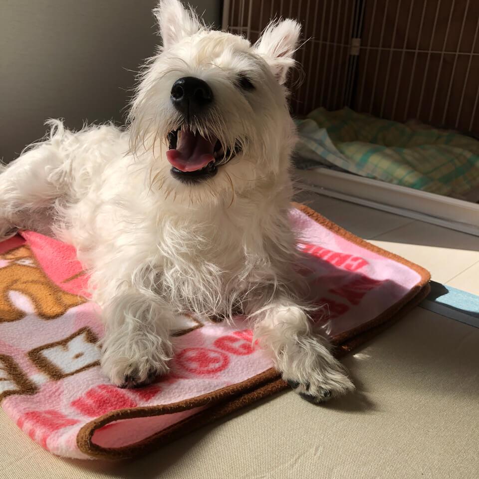 笑顔で満足気なウェスティの子犬の画像